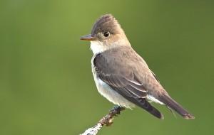 Olive-sided-Flycatcher-049