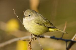 Orange-crowned-Warbler-0019
