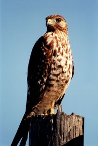 Red_Tailed_Hawk_lg