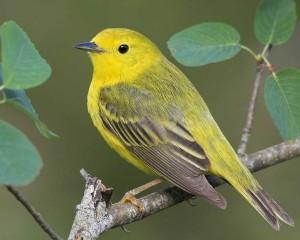 Yellow_Warbler_b57-3-104_l_1