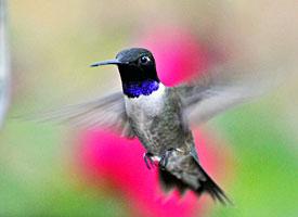 black_chinned_hummingbird_glamor12