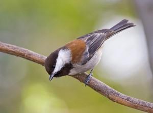 chestnut-backed-chickadee-1