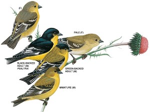 lesser-goldfinch-illustration_17276_600x450-1