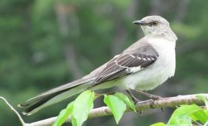 northern-mockingbird-977bfd78dfafa37a70028f9616b4676a