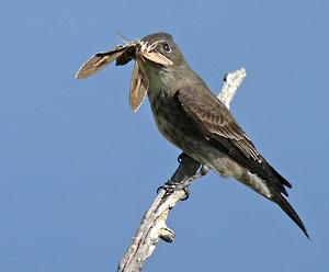 olive_sided_flycatcher