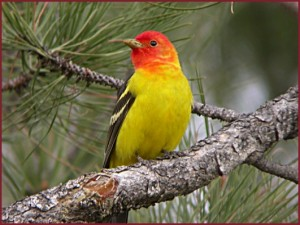 western_tanager2