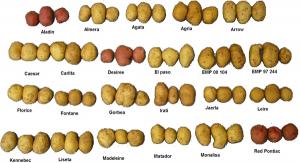600px-Several_varieties_of_potatoes