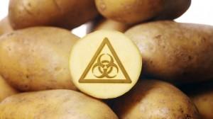_65655436_c0132356-genetically_modified_potatoes-spl