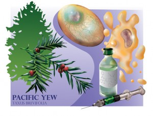 pacific_yew_tree