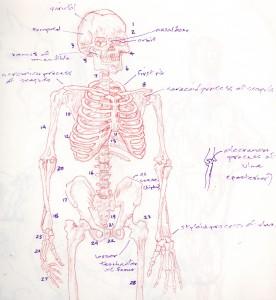 rib cage parts