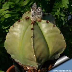 Astrophytum_myriostigma_nuda_360
