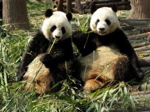 pandashyjk20001