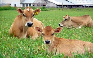 Cows-HD-Photo-143d461