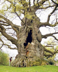 Kentish tree 500-6-- years old