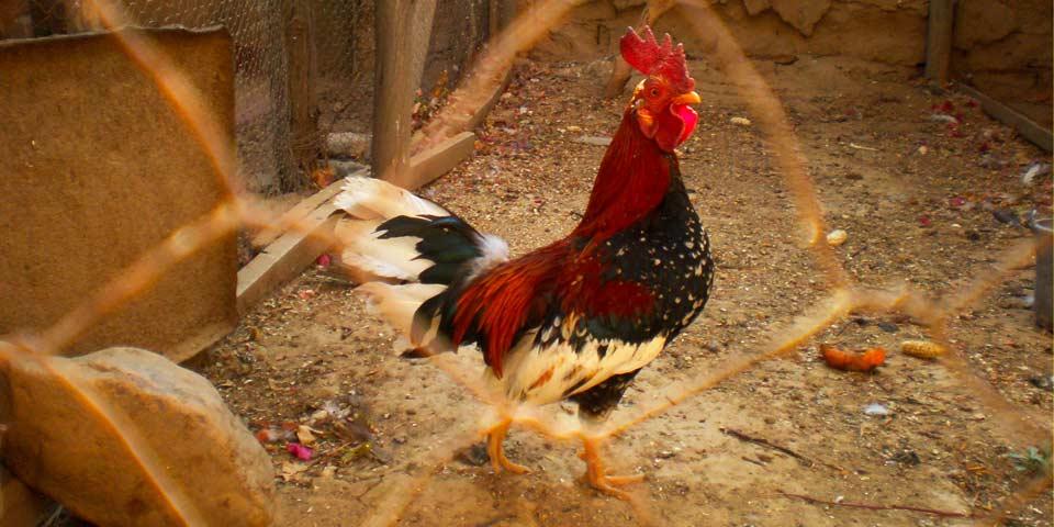 Acuerdo por el cual se desincentivan las riñas de gallos en el Distrito Capital