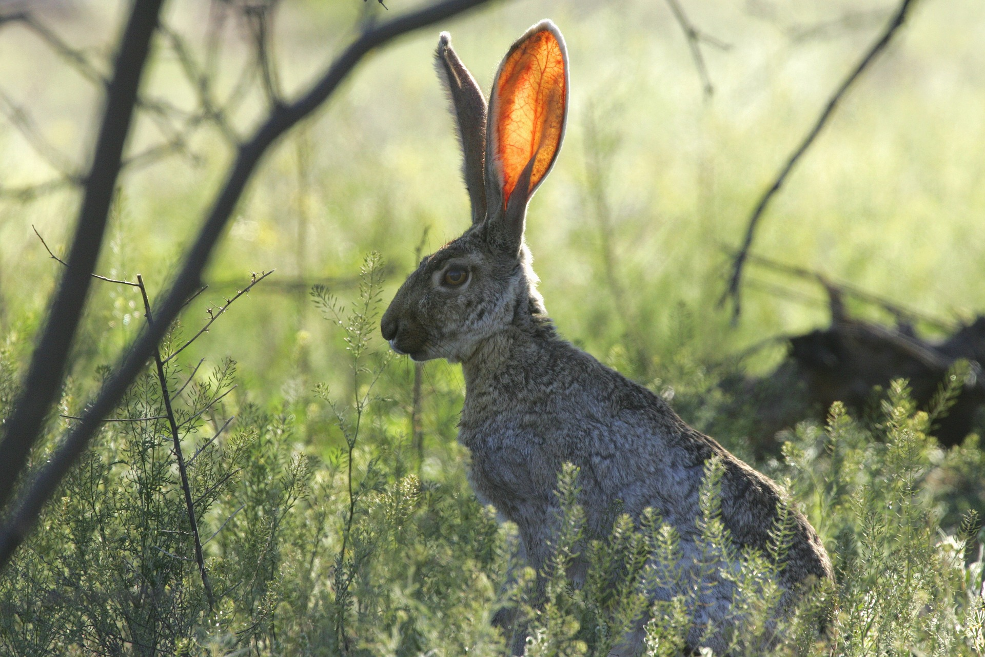 Rabbit with big ears in a position to hear something