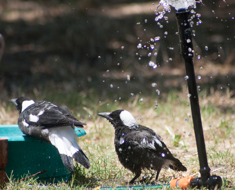 Magpie-and-sprinkler
