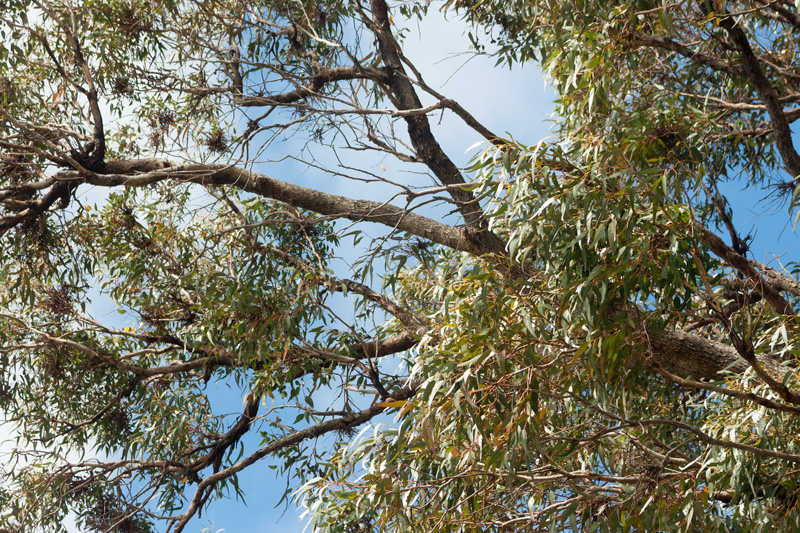 Trees-magpies-live-in