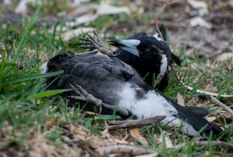 magpie-play