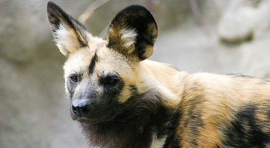 african_painted_dog