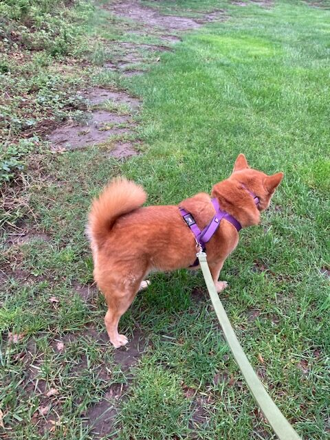 Peanut is good on the leash without too much pulling