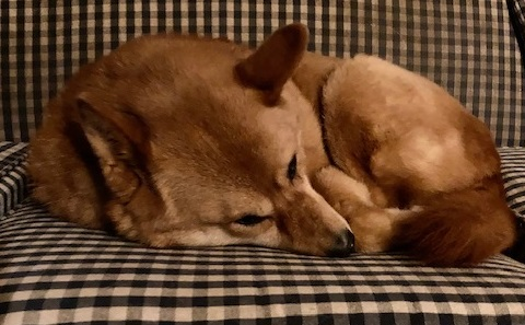 I love how she looks like a little fox when she is all curled up