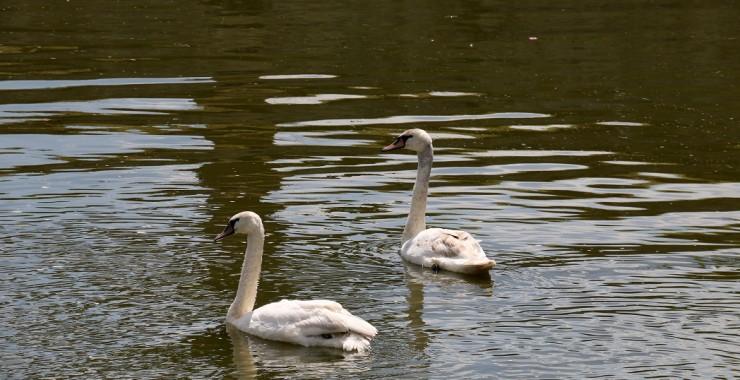 Лебеди в пруду. Морицбург.