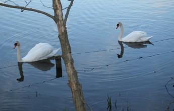 Лебеди весной в Лобендаве.