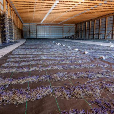 lavender (17 of 17)