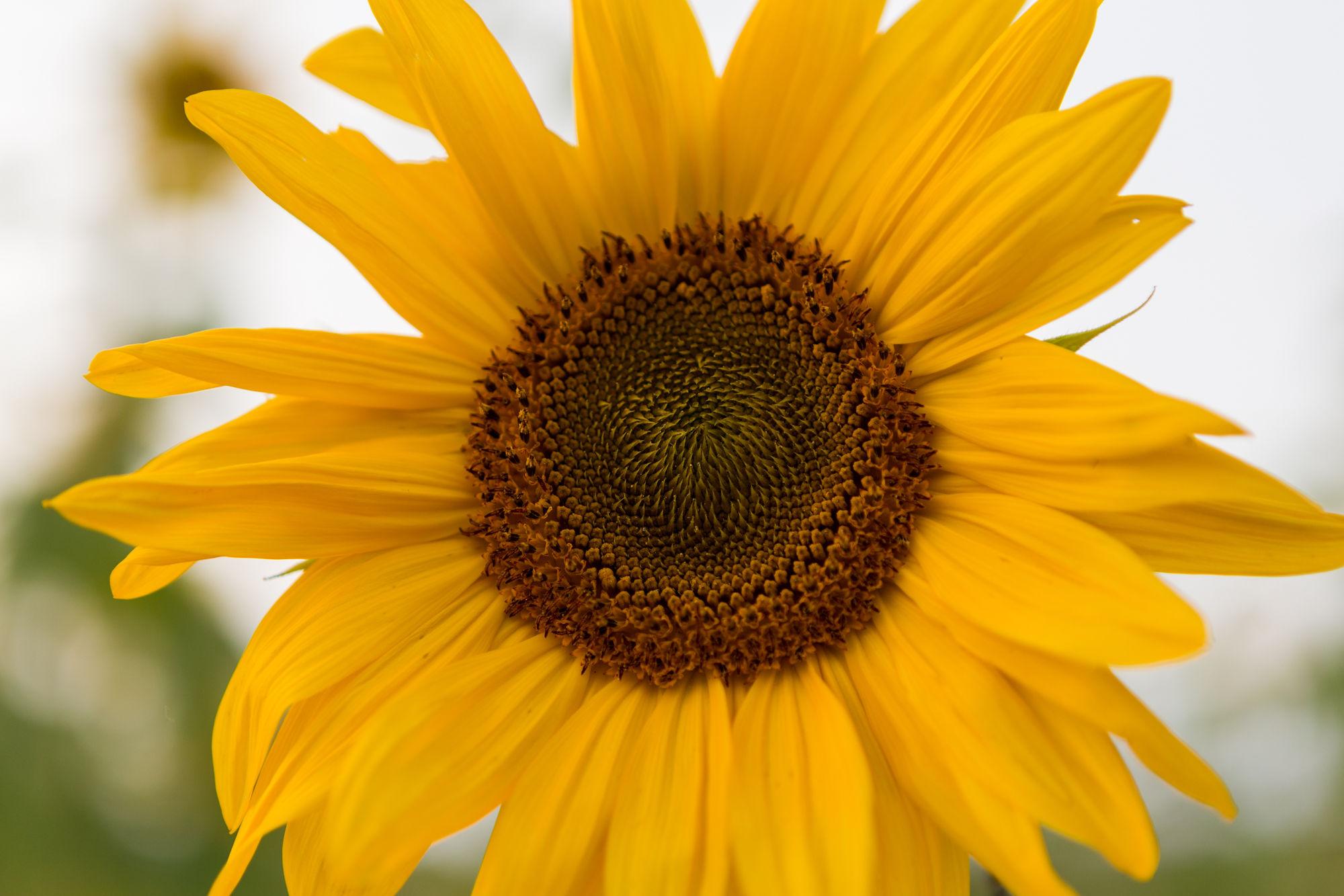 Sunflower Floral Design Workshop