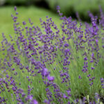 How to Identify your Lavender Species