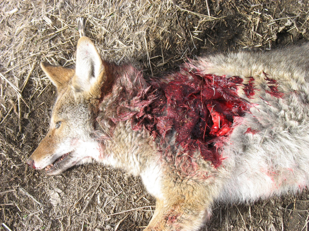 Messy coyote with .20-250