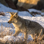 Coyote in December early morning light