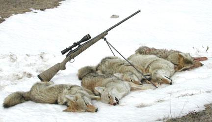 Dan C 5 Coyotes 17 Predator
