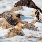 Hawks jousting in January