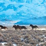 Mustangs raising snow dust on a 19 degrees below zero morning