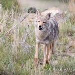 Wyoming alpha male during denning season responding to vocalizations