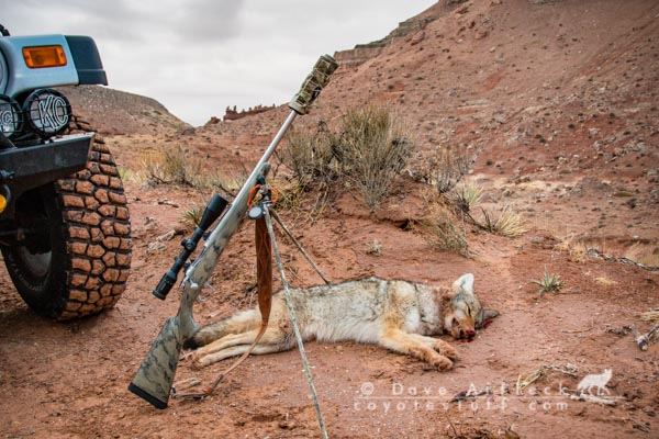 Southern Utah coyote taken in bare rocky ground