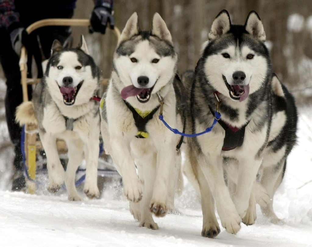 Siberian huskies in the trail during the Sled Dog Classic at Punderson State Park