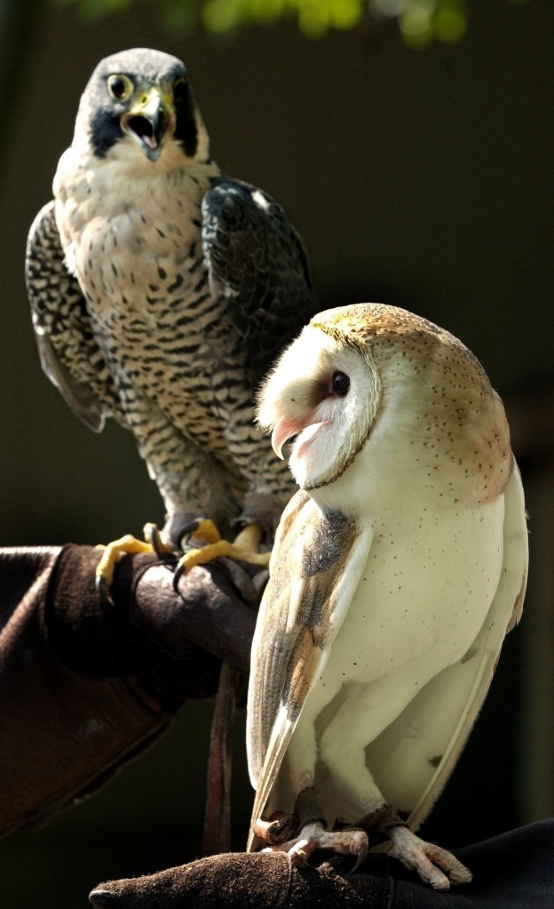 An endangered Peregrine flacon warily eyes a threatened barn owl. Both are injured and housed at the Lake Metroparks Wildlife Center.