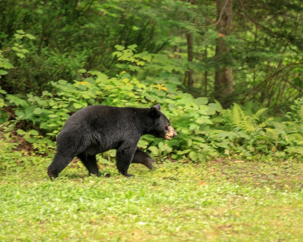 Bear Sighting in Ipperwash Area