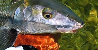 Florida Keys Bonefish