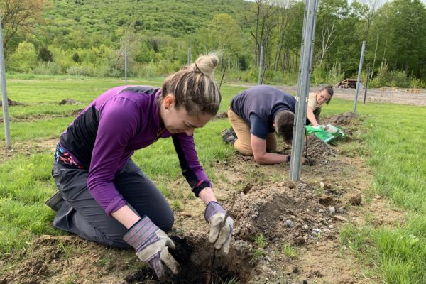 Planting the Vines at Seven Birches