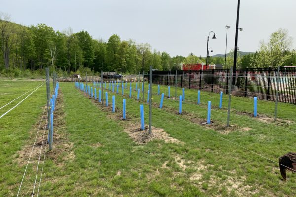 Vineyard Rows with Grow Tubes at Seven Birches Winery