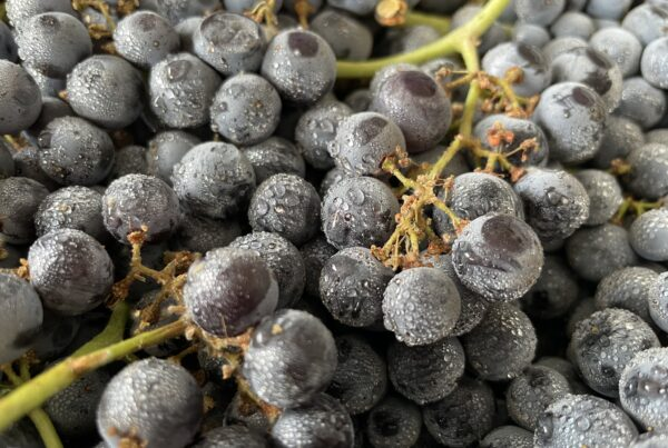 Fall 2021 Grape Harvest