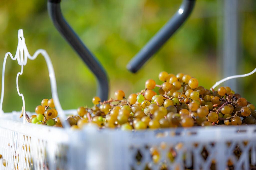 Seven Birches Close Up White Grapes Harvest