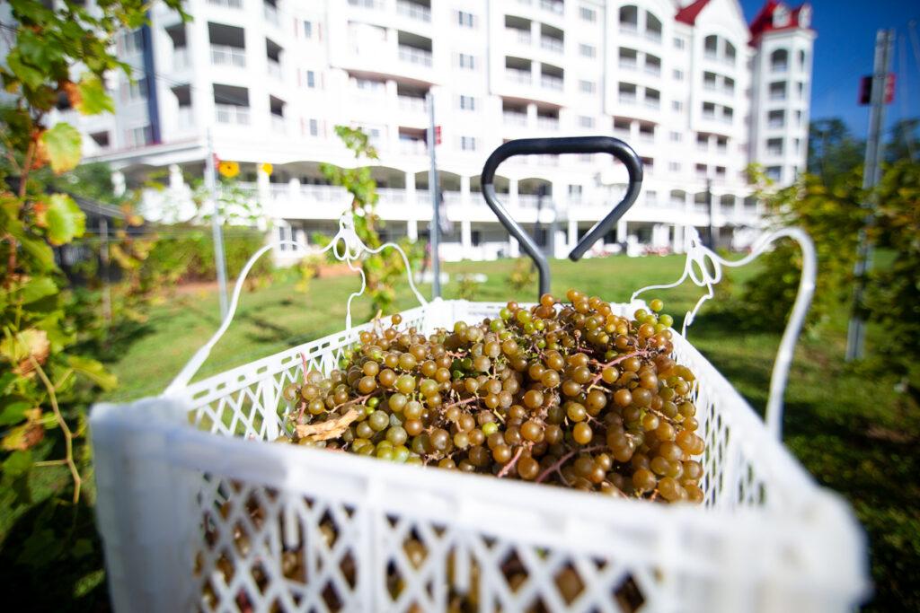 Seven Birches White Grapes RiverWalk Resort 2