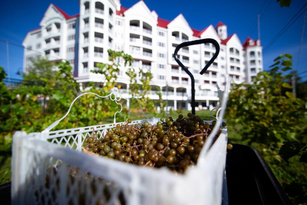Seven Birches White Grapes RiverWalk Resort