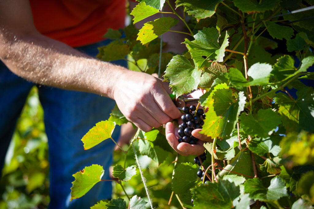 Picking Red Grapes Close Up