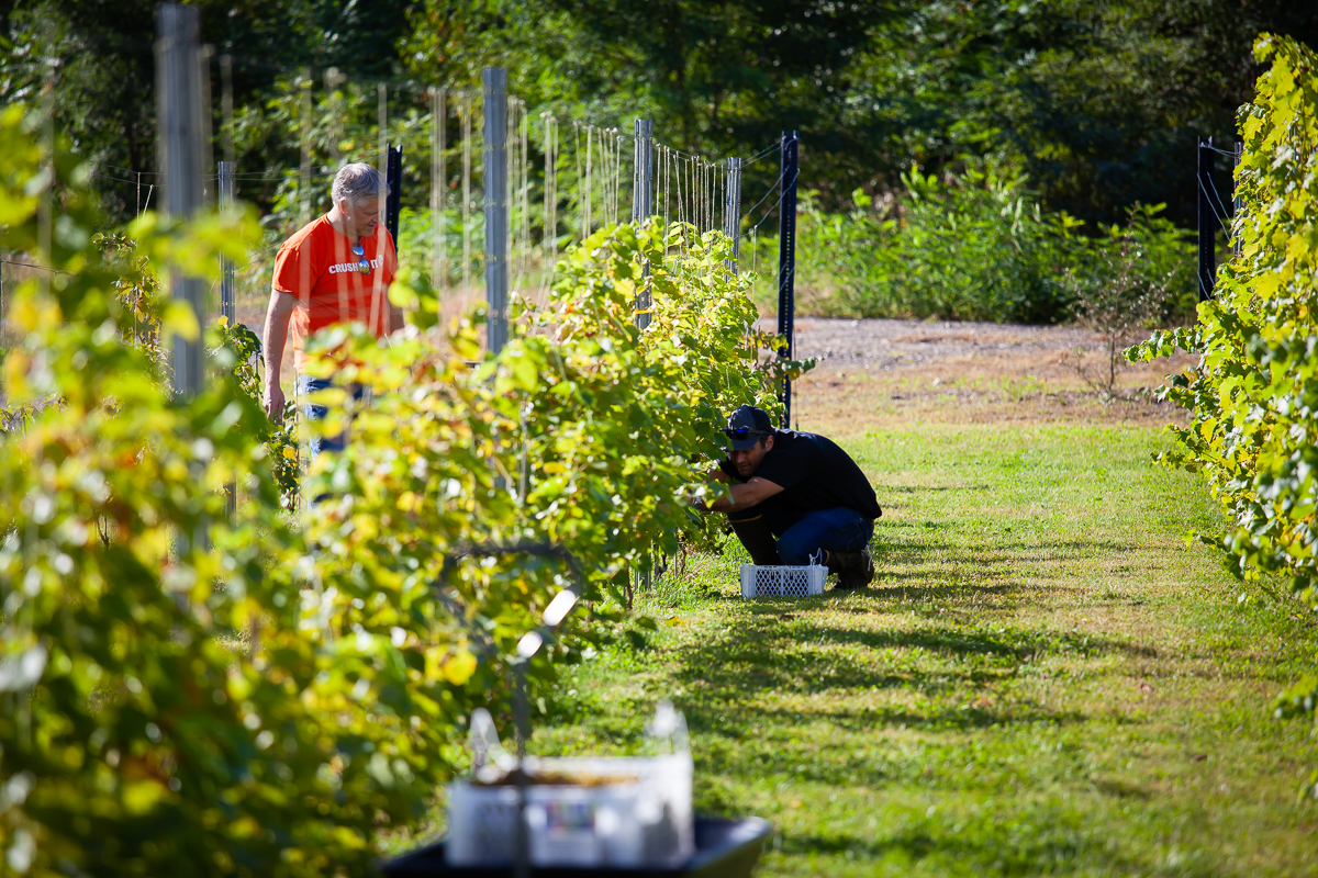 First Harvest of the Vineyard at Seven Birches